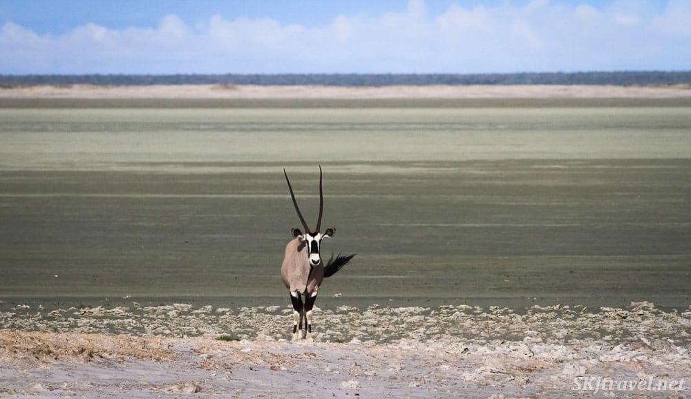 An oryx (also called gemsbok) in Etosha Natioanl Park Namibia