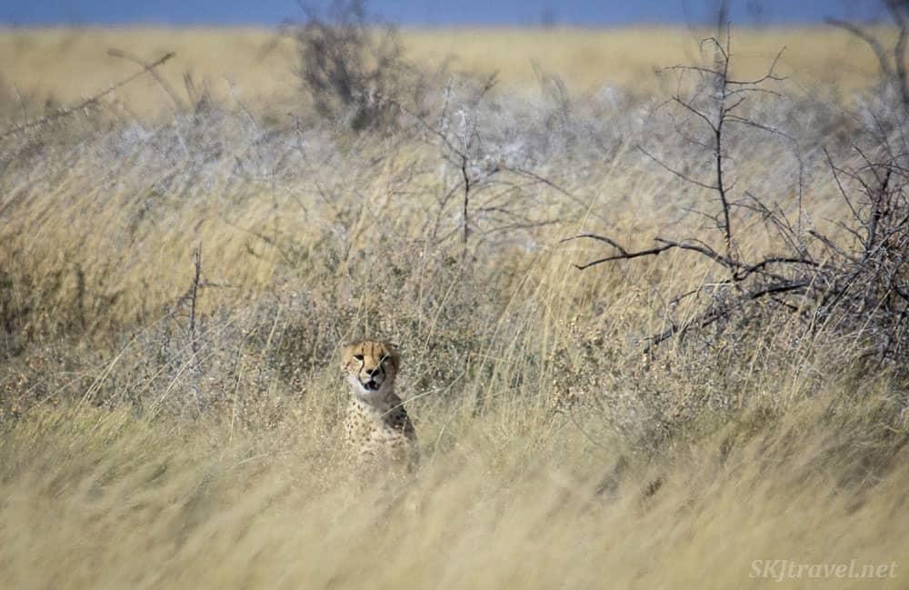 cheetahs in Etosha National paRK