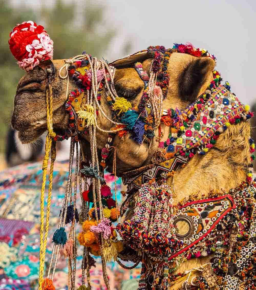Camel Rajasthan india