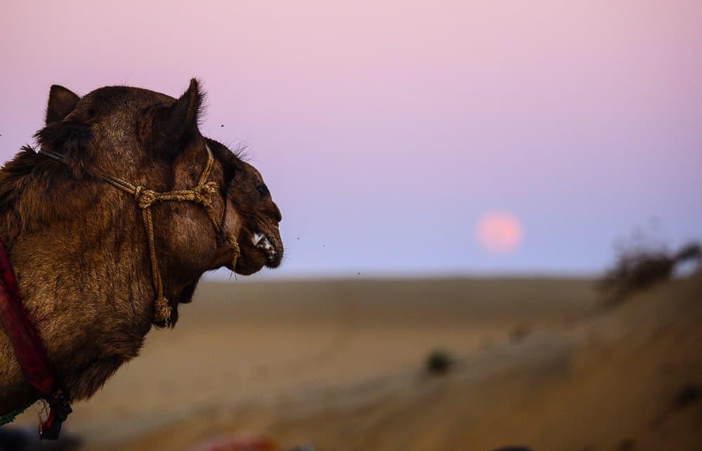camel india