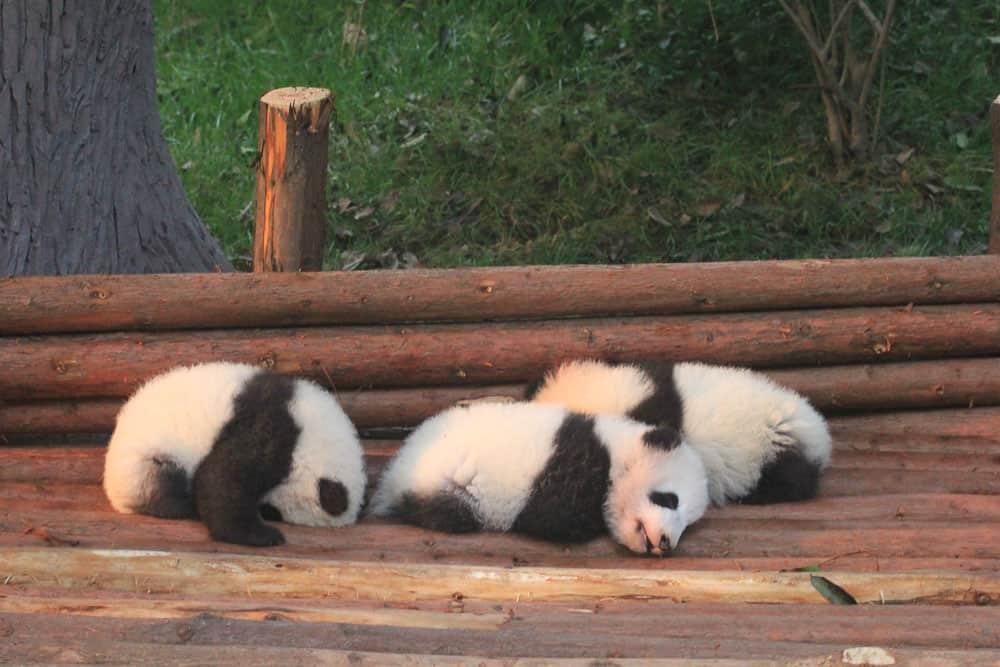 panda cubs babys