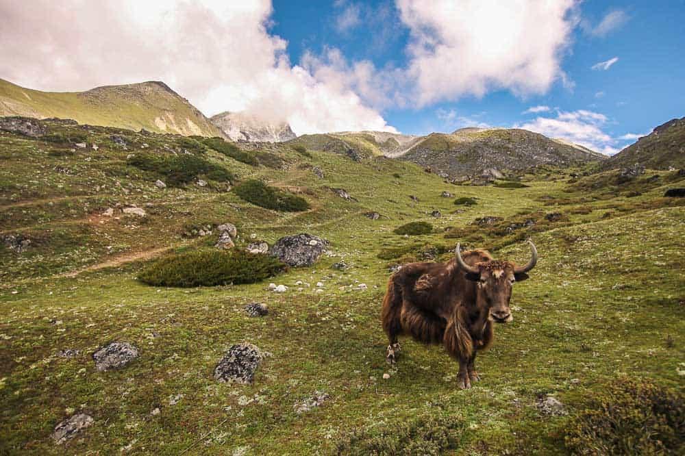 yak Gokyo Lakes Nepal