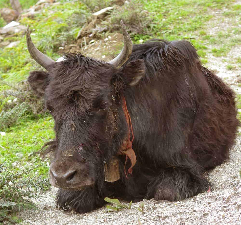 yak arunachal pradesh