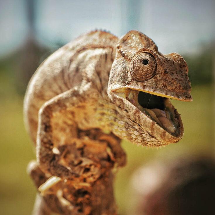 chameleons madagascar