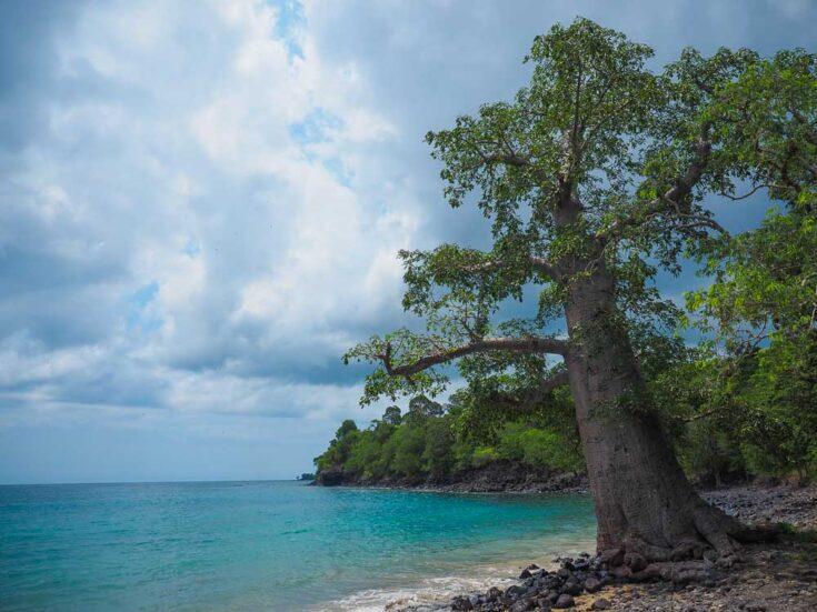 Baobabs trees in Sao Tome & Principe