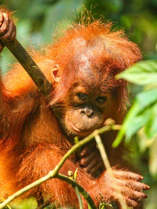 baby Orangutan Indonesia