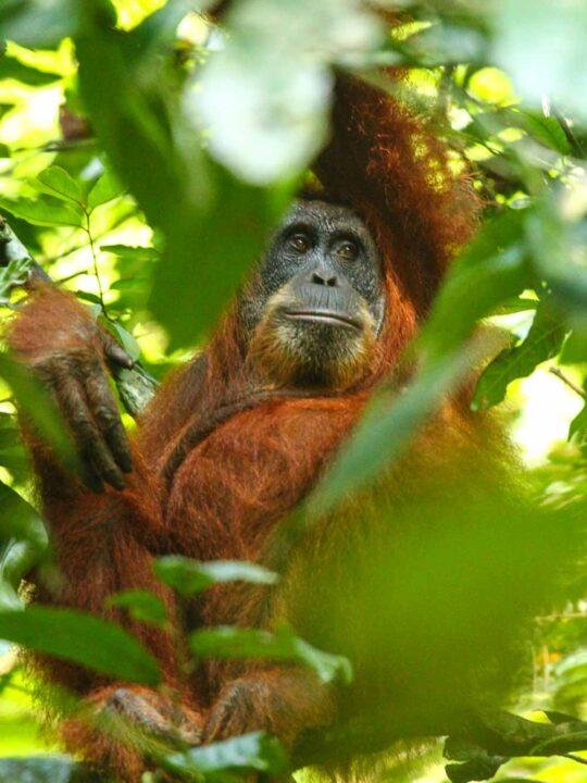 A Sumatran Orangutan in Gunung Leuser National Park Indonesia