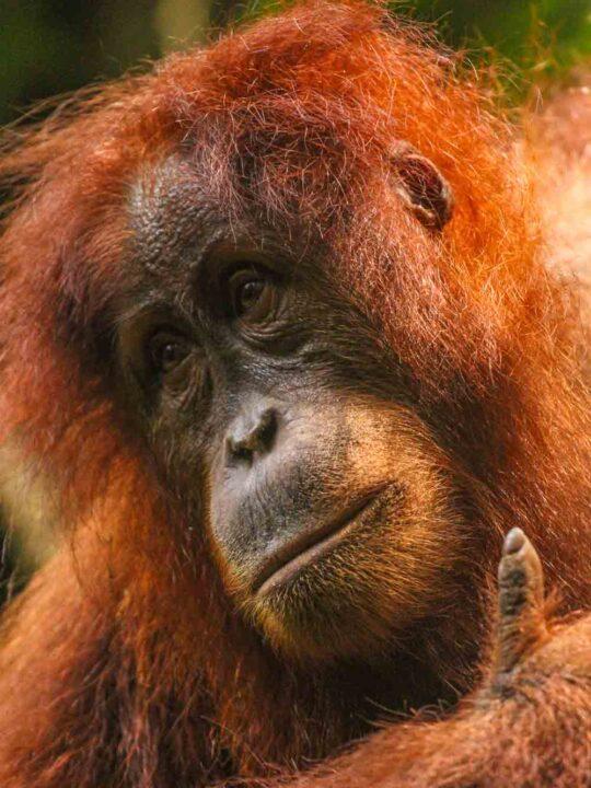 A Sumatran Orangutan high up in the trees
