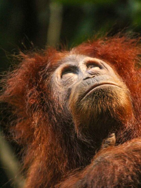 Sumatran Orangutan in Gunung Leuser National Park iNDONESIA