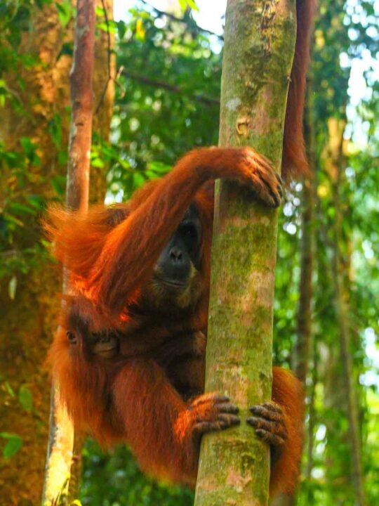 Sumatran Orangutan indonesia Gunung Leuser National Park in Sumatra Indonesia