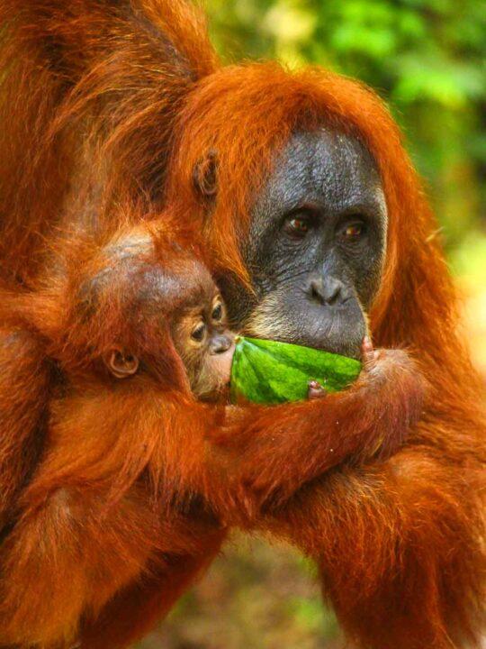 A Sumatran Orangutan Indonesia