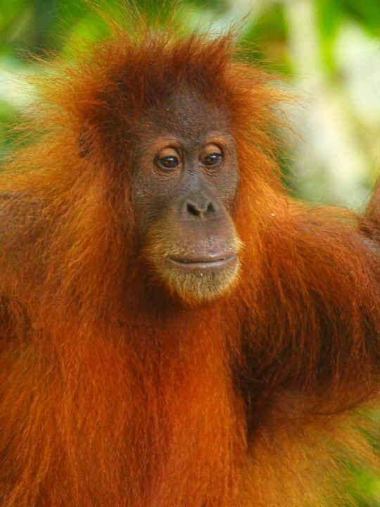 Sumatran Orangutan in the trees indonesia