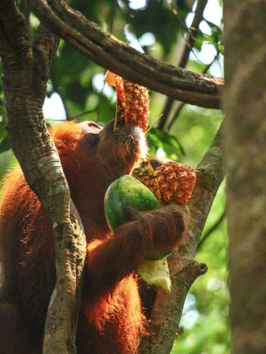 orangutan food