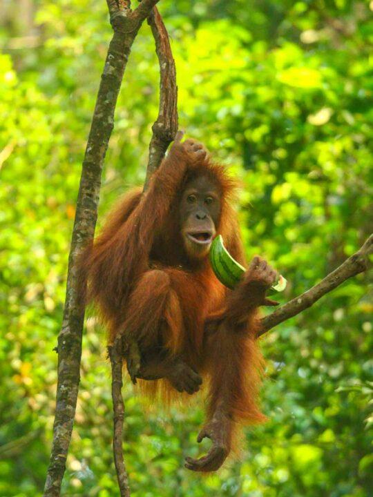 A Sumatran Orangutan in Gunung Leuser National Park
