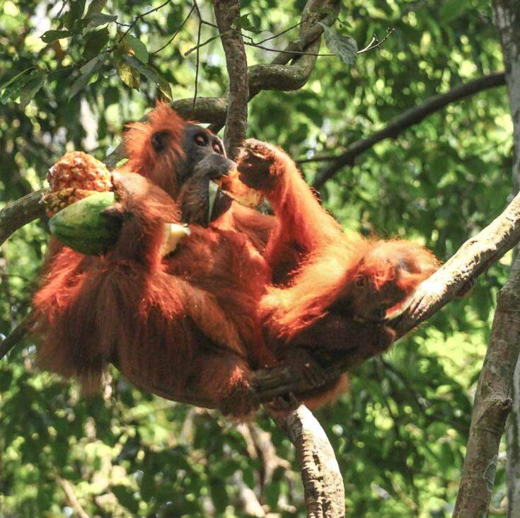 A Sumatran Orangutan in the trees