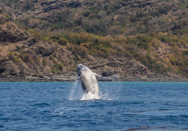 humpback whale moheli africa